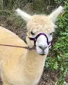 Alpaca Nik in primo piano con cavezza viola