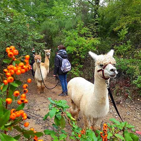 passeggiata con alpaca lunga